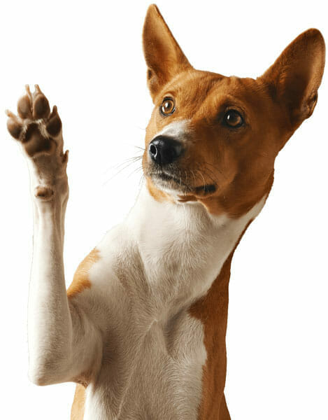 A Trained Dog Giving A Paw