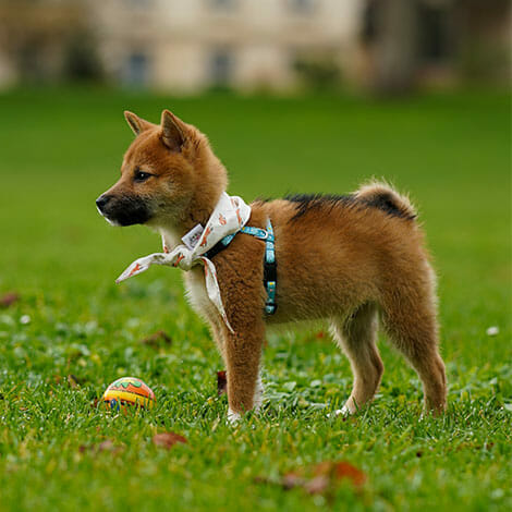 Little Puppy Playing Fetch